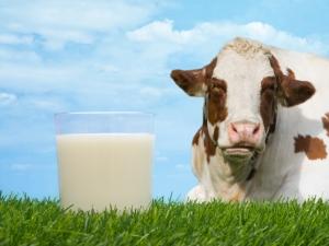 milk-cow1